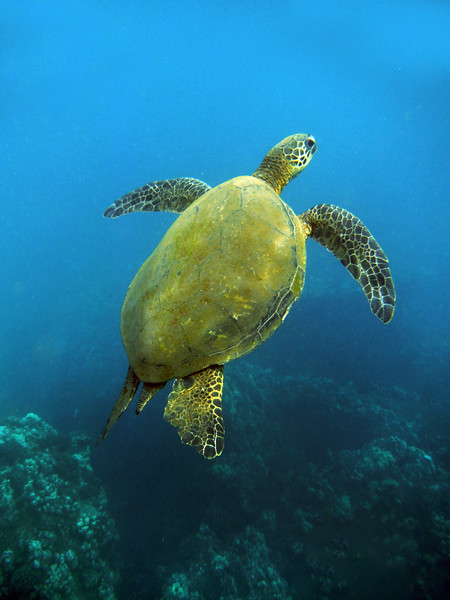 Hawaii, UnCruise Adventures, Green Sea Turtle, Maui