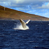 Hawaii, UnCruise Adventures, Humpback Whale Breech, Maui