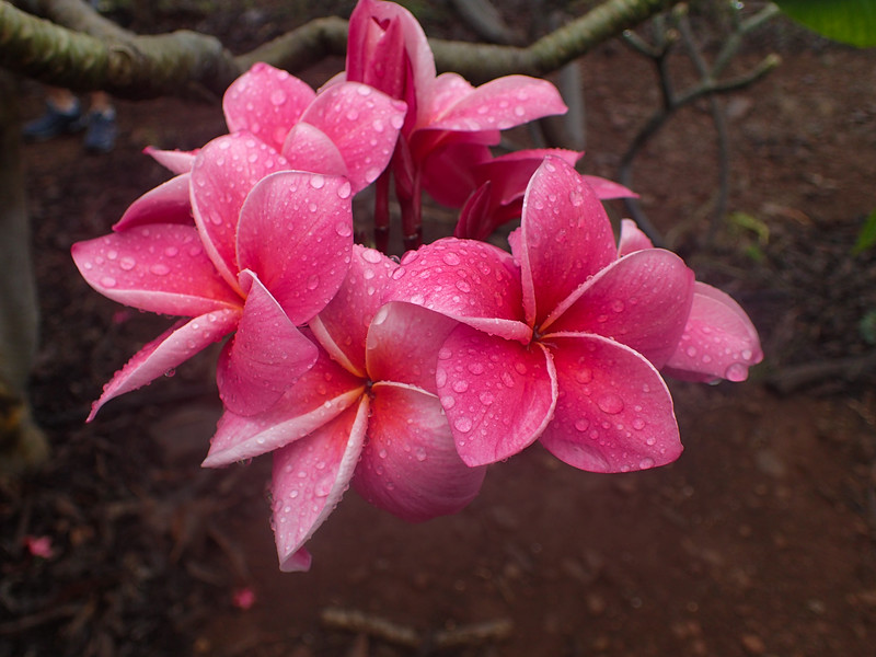 Hawaii, UnCruise Adventures, Plumeria Farm, Molokai