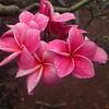 Hawaii, UnCruise Adventures, Plumeria Farm, Molokai