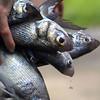 Hawaii, UnCruise Adventures, Molokai, Local Moi Fish