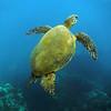 Hawaii, UnCruise Adventures, Green Sea Turtle, Maui