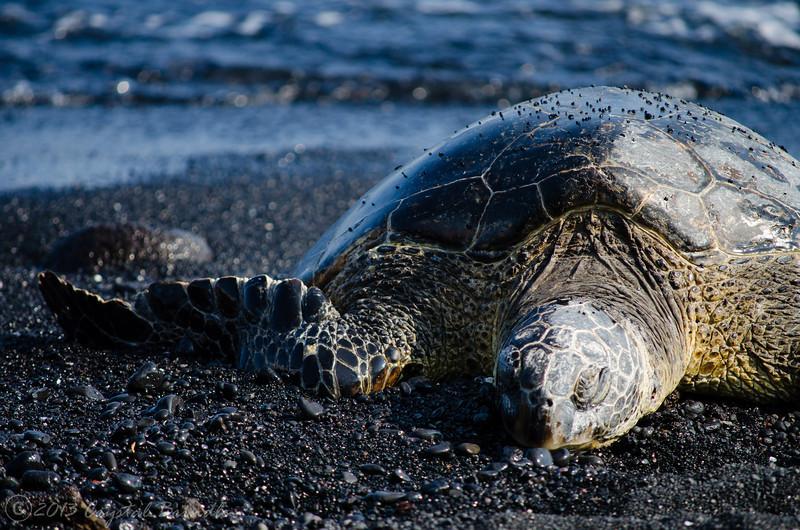 Basking Sea Turtle