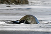 An adult female endangered Hawaiian Monk Seal, monachus schauinslandi, rests on the beach with her pup, Big Island, Hawaii, Pacific