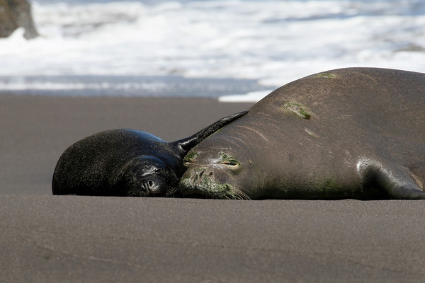 An adult female endangered Hawaiian Monk Seal, monachus schauinslandi, rests on the beach with her pup, Big Island, Hawaii, Pacific
