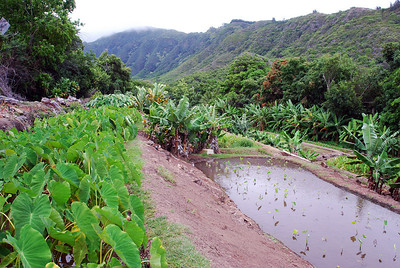 Uncle Kenneths Loi in Waihee valley, Maui.