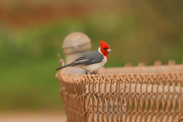 Red-crested Cardinal Paroaria coronata Family Thraupidae Salt Pond Park, Hanapepe, Kauai, Hawaii 7 March 2015