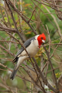 Red-crested Cardinal Paroaria coronata Family Thraupidae Salt Pond Park, Hanapepe, Kauai, Hawaii 7 March 2015