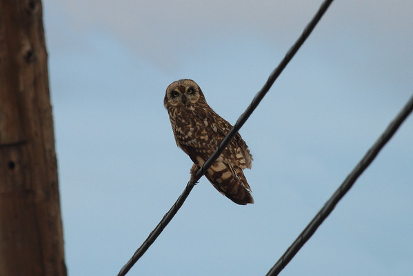 "Short-eared Owl / Pueo ""Hawaiian"" subspecies Asio flammeus sandwichensis Waimea Canyon Drive, Waimea, Kauai, Hawaii 7 April 2015"