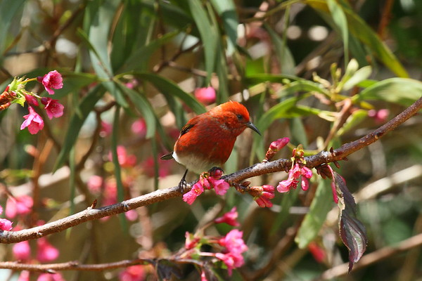 `Apapane Himatione sanguinea Koke'e State Park, Kauai, Hawaii 9 March 2015
