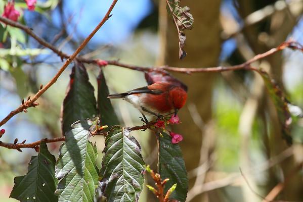 `Apapane Himatione sanguinea Koke'e State Park, Kauai, Hawaii 9 March 2015