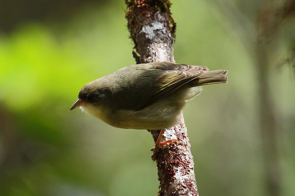 `Akikiki Oreomystis bairdi Alaka'i Wilderness Preserve, Kauai, Hawaii 16 March 2015