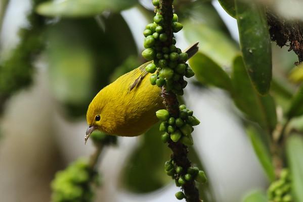 `Anianiau Magumma parva Alaka'i Wilderness Preserve, Kauai, Hawaii 13 March 2015