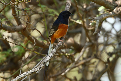 "White-rumped Shama (male) ""Indian"" subspecies Copsychus malabaricus indicus Maha'ulepu Heritage Trail, Poipu, Kauai, Hawaii 4 May 2015"