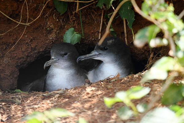 Wedge-tailed Shearwater / `Ua `u kani Ardenna pacificus Family Procellariidae Kilauea Point National Wildlife Refuge, Kilauea, Kauai, Hawaii 19 May 2015
