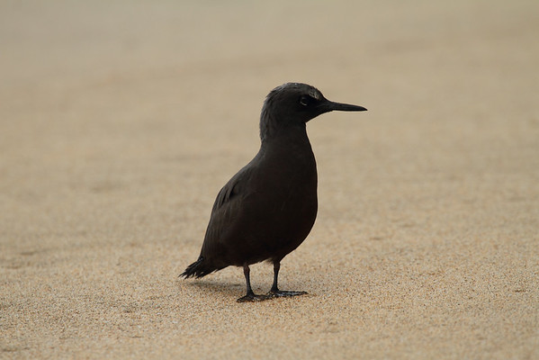 "Black Noddy / Noio ""Hawaiian"" subspecies Anous minutus melanogenys Family Laridae Kalalau Beach, Na Pali Coast State Park, Kauai, Hawaii 14 June 2015"