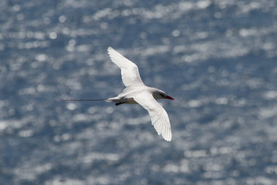 Red-tailed Tropicbird / Koa`e `ula melanorhynchos subspecies Phaethon rubricauda melanorhynchos Family Phaethontidae Kilauea Point National Wildlife Refuge, Kilauea, Kauai, Hawaii 19 May 2015