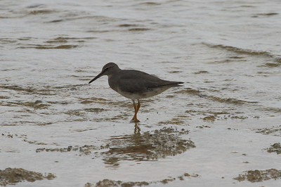 Wandering Tattler Tringa incana Family Scolopacidae Salt Pond Park, Hanapepe, Kauai, Hawaii 7 March 2015