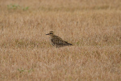 Pacific Golden Plover / Kolea Pluvialis fulva Family Charadriidae Salt Pond Park, Hanapepe, Kauai, Hawaii 7 March 2015
