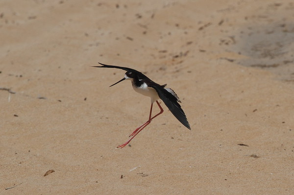 "Black-necked Stilt / Ae`o ""Hawaiian"" subspecies Himantopus mexicanus knudseni Family Recurvirostridae MacArthur Park, Kekaha, Kauai, Hawaii 22 March 2015"