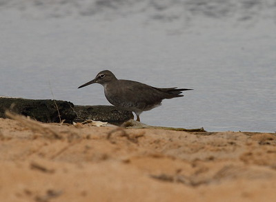 Wandering Tattler Tringa incana Family Scolopacidae MacArthur Park, Kekaha, Kauai, Hawaii 22 March 2015