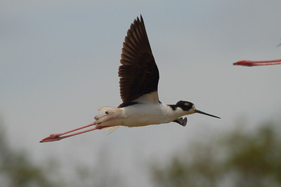 "Black-necked Stilt / Ae`o ""Hawaiian"" subspecies Himantopus mexicanus knudseni Family Recurvirostridae Kawaiele Waterbird Sanctuary, Kekaha, Kauai, Hawaii 22 March 2015"
