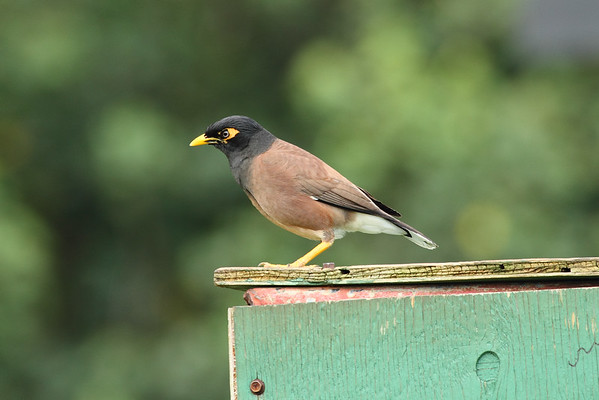Common Myna Nominate subspecies Acridotheres tristis tristis Wailua, Kauai, Hawaii 2 June 2015