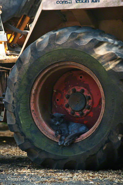 A Kitty Snoozes in a Tractor Wheel