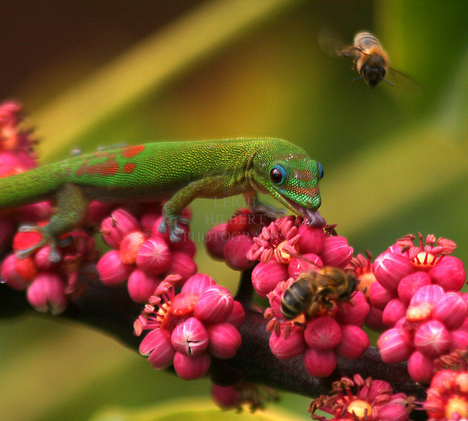 Nectar Gathering<br /> <br /> Madagascar gecko lizards compete honeybees for nectar seeping from the tiny blossoms of a Schefllera tree off my deck.