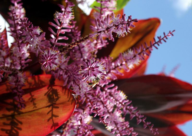 Bee's World -- Ti-plant blossoms drip with nectar