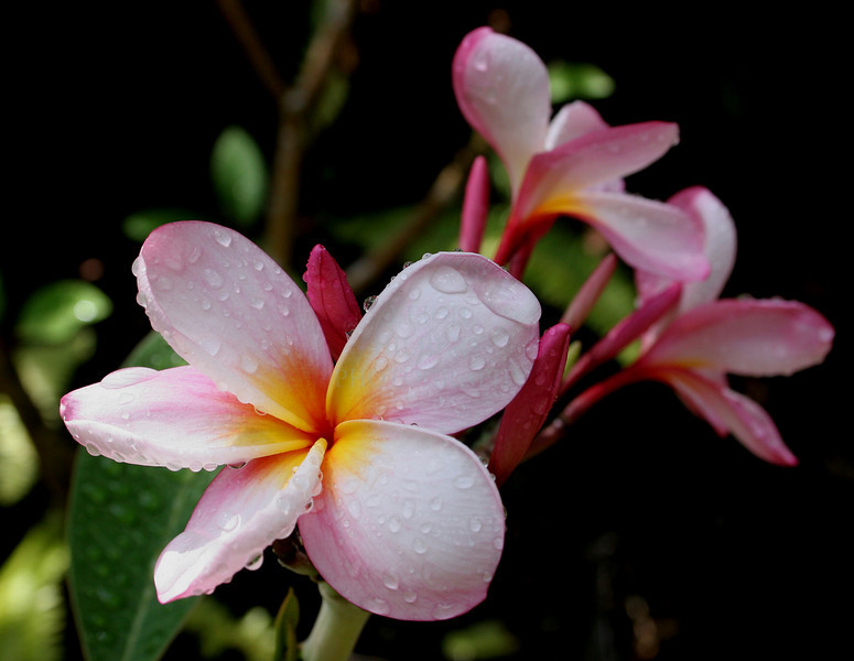 Plumeria, Island of Hawaii