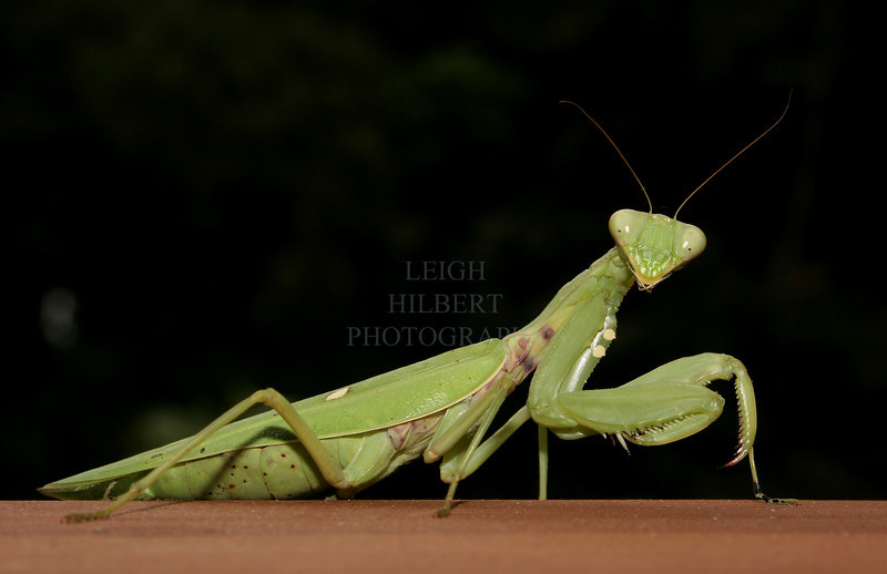 "Praying Mantis trying to look her best~<br /> <br /> This mantis was huge! The tiny one in the following photo would fit between this one's eyes!<br /> <br /> {For full framed print of this one refer to purchase guide: <a href=""http://leighs-gallery.smugmug.com/gallery/2457532/1/128869534"">http://leighs-gallery.smugmug.com/gallery/2457532/1/128869534</a>"