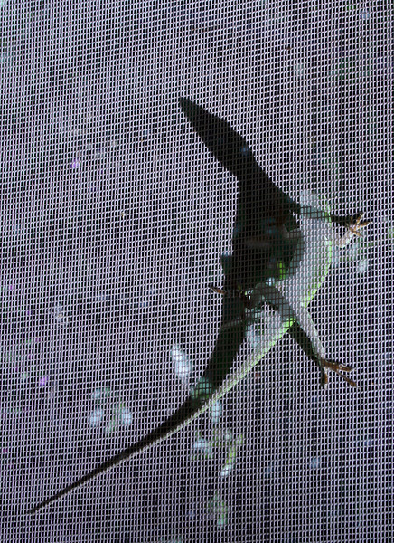 Anole lizard on screen