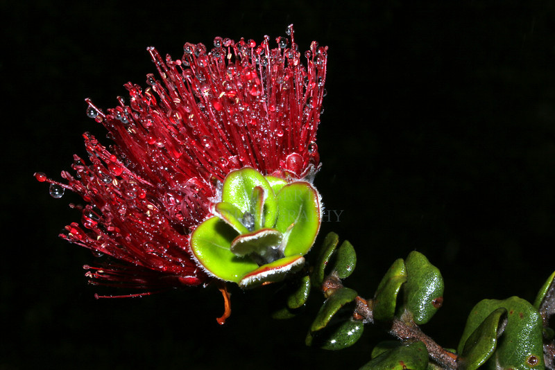 Lehua<br /> Blossom of the Ohia Tree<br /> The flower of Hawaiian royalty.<br /> <br /> Island of Hawaii~