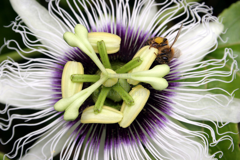 This wild passion fruit flower was a magnet for one hungry honeybee!