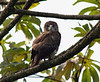 Hawaiian Hawk, called Io in Hawaiian-- endangered species