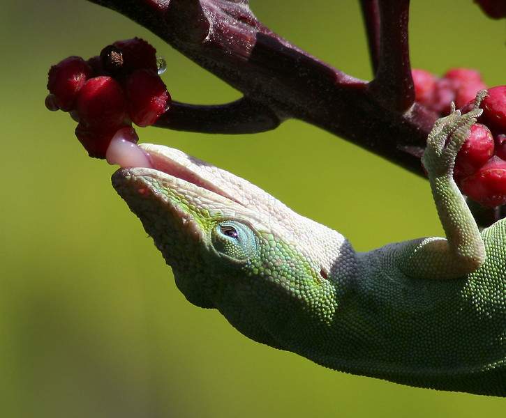 This anole lizard licks nectar drops off an octopus tree's berry-like blossoms The nectar oozes out of the little flowers when the heat of the sun hits them. Bees, birds and these anole lizards love it! ~~ Island of Hawaii.