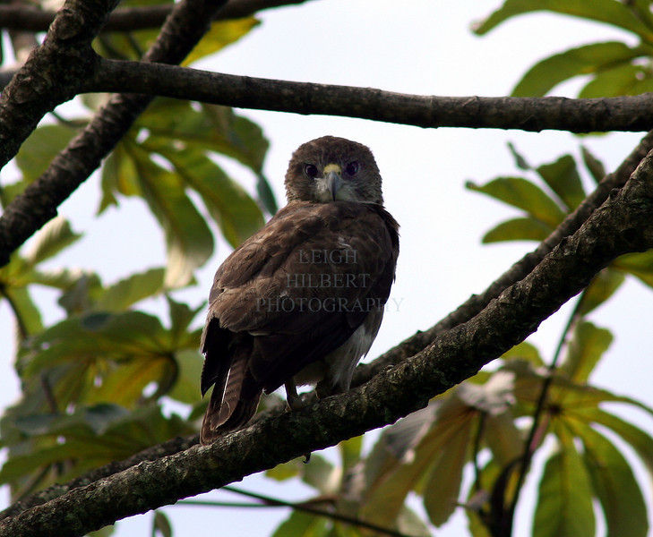 "Hawaiian Hawk, io (ee-oh) in Hawaiian {Endangered species}  Information at this <a href=""http://www.fws.gov/pacificislands/wesa/io.html"">Hawaiian Hawk site</a> From that site:  ""The `Io is endemic to Hawai`i and was a symbol of royalty in Hawaiian legend. The `Io is also the only hawk native to Hawai`i. They only breed on the Big Island but have been occasionally seen on Maui, O`ahu, and Kaua`i. Fossil records indicate that this hawk may also been established on Moloka`i and Kaua`i. They depend on native forest for nesting, but are able to use a broad range of habitats for foraging, including papaya and macadamia nut orchards, as well as forests dominated by native and introduced vegetation, from sea level to 6,500 feet elevation."""
