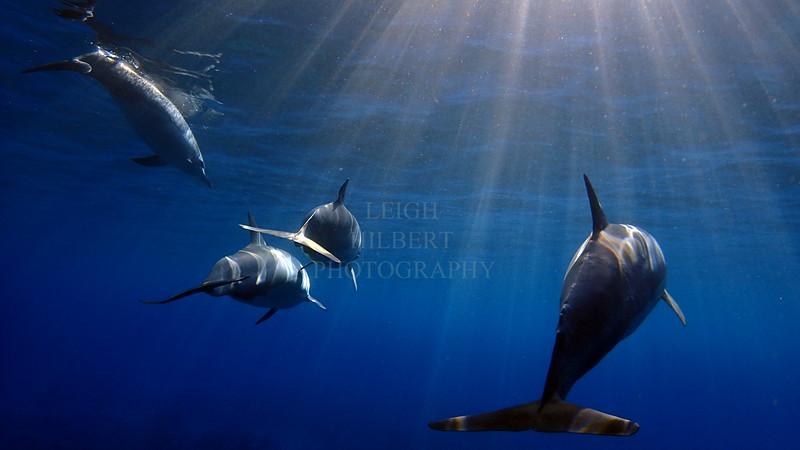 Wild Dolphins offshore Hawaii Island