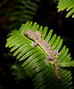 Gecko on a Fern at night