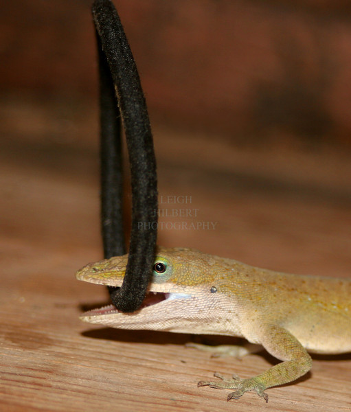 My missing Hair Ties ~ Anole Lizard Fun -4<br /> <br /> We caught this wild anole lizard climbing backwards up my screen door inside the house today carrying one of my ponytail hair ties in his mouth. Then, as in this shot, he ran around the floor carrying it like a new toy~<br /> <br /> We watched for a while to see what he was going to do with it. He would twist it back and forth once as if he'd caught a bug, then would drop it.