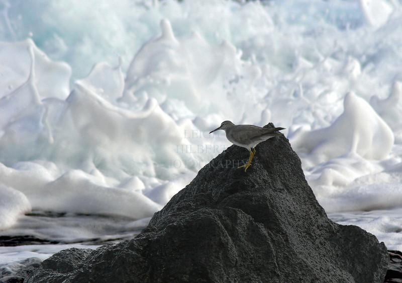 ~ Gray-tailed Tattler #3 ~<br /> <br /> Ho`okena, Island of Hawaii<br /> <br /> (Order form #47)