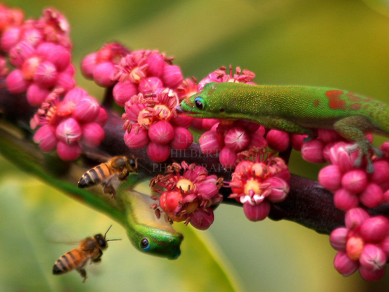 Nectar Gathering<br /> <br /> Madagascar gecko lizards, or 'Gold Dust Day' lizards, compete honeybees for nectar seeping from the tiny blossoms, he`e, of a Schefllera tree off my deck.