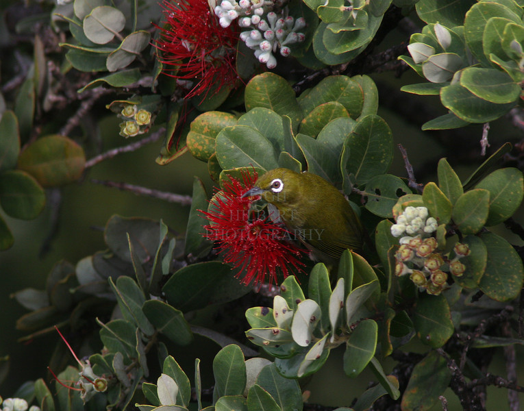 Japanese White-eye Feeds on Ohia Lehua<br /> I really like these little birds. They keep very busy all day sucking ohia lehua flower nectar and plucking bugs off the trees. They originated from Japan I believe and are known there as Mejiro. One pair built a nest just off my deck a couple of weeks ago but they are very sneaky, and I seldom see those two. I am pretty sure they have laid the eggs but the nest is nearly completely hidden within the top forks of an ohia tree.