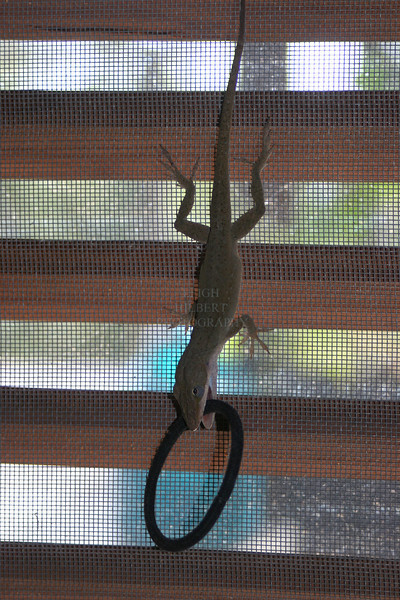 My missing Hair Ties ~ Anole Lizard Fun -1<br /> <br /> We caught this wild anole lizard climbing backwards up my screen door inside the house today carrying one of my ponytail hair ties in his mouth. Then he ran around the floor carrying it like a new toy.<br /> We watched for a while to see what he was going to do with it. He would twist it back and forth once as if he'd caught a bug, then would drop it.