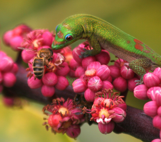 Nectar Gathering<br /> <br /> Madagascar gecko lizards, or 'Gold Dust Day' lizards, compete honeybees for nectar seeping from the tiny blossoms of a Schefllera tree off my deck.