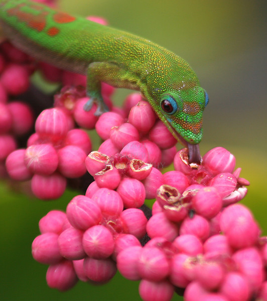 Nectar Gathering<br /> <br /> Madagascar gecko lizards, or 'Gold Dust Day' lizards,compete honeybees for nectar seeping from the tiny blossoms of a Schefllera tree off my deck.
