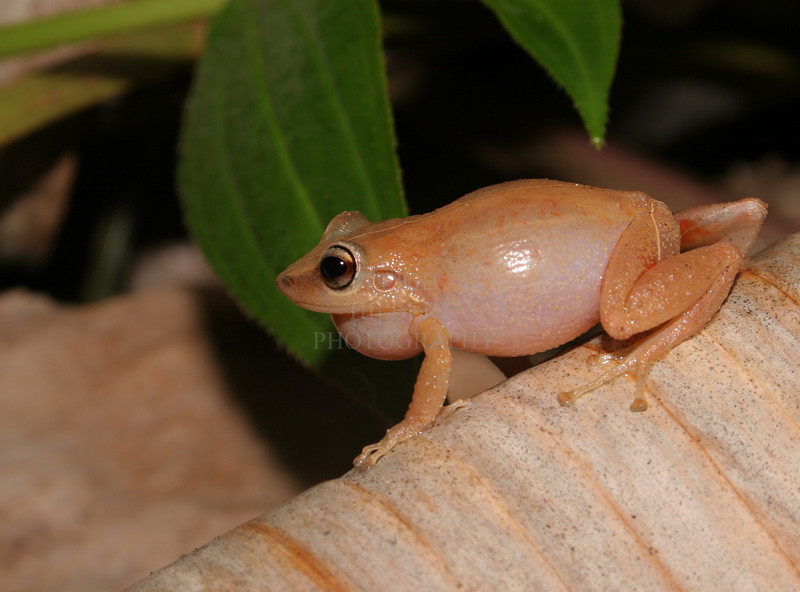 """This is a coqui frog, a male chirping out his 90-decibel mating call. They are very tiny frogs!<br /> <br /> Coqui frog gallery here <a href=""""http://leighs-gallery.smugmug.com/gallery/2418156#126809250"""">http://leighs-gallery.smugmug.com/gallery/2418156#126809250</a>"""