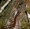 Giant Centipede / kanapi in Hawaiian  These insects are scary and have a nasty bite…  I have seen some the width of my thumb and 8-inches long; this is a smaller one at about 6-inches.  They crawl very fast! Diet is most anything they can catch, like insects and even geckos.  This one was crawling up a tree at night, inches before my face while I was looking for coqui frogs to photograph.  Coqui frog gallery here: http://leighs-gallery.smugmug.com/gallery/2418156#126809250