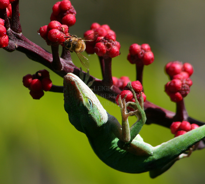 Anole Lizard and Honey Bee -1<br /> <br /> This anole lizard licks nectar drops off an octopus tree's berry-like blossoms The nectar oozes out of the little flowers when the heat of the sun hits them. Bees, birds and these anole lizards love it! ~~ Island of Hawaii.